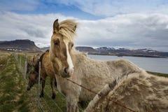 Icelandic лошади, Исландия стоковая фотография rf
