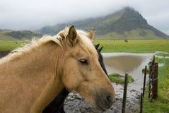 icelandic лошади Стоковое Изображение