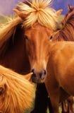 icelandic лошади стоковые изображения rf
