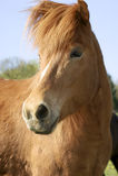 icelandic лошади Стоковое Фото