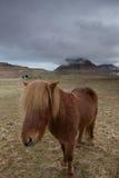 icelandic лошади Стоковые Изображения