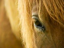 icelandic лошади Стоковая Фотография RF