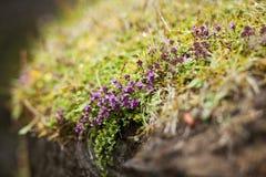 icelandic мох Стоковые Фотографии RF