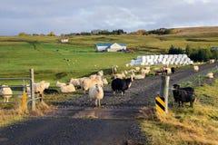 Icelandic овцы Стоковые Фотографии RF