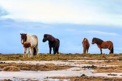 Icelandic лошади Стоковые Фото
