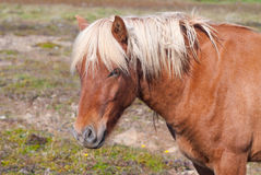 Icelandic лошадь Стоковое Изображение RF