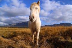 Icelandic лошадь Стоковые Фотографии RF