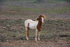 Icelandic лошадь Стоковые Фото