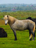 Icelandic лошадь Стоковое фото RF
