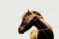 Icelandic лошадь стоковое изображение