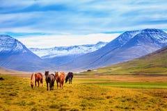 icelandic пониы Стоковая Фотография RF