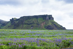 Icelandic Beautiful Landscape Lupine Bluebonnet. Fantastic nature during icelandic trip at summer time Stock Images