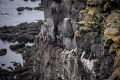 Icelandic birds. Látrabjarg - westernmost point in Iceland Royalty Free Stock Image