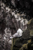 Icelandic birds. Látrabjarg - westernmost point in Iceland Royalty Free Stock Photos