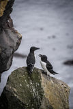 Icelandic birds. Látrabjarg - westernmost point in Iceland Stock Images