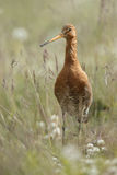 Icelandic Black-tailed Godwits (Limosa Islandica) Stock Photos