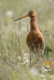 Icelandic Black-tailed Godwits (Limosa Islandica) Stock Photo