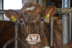 Icelandic cattle in a barn stock photo