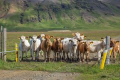 Icelandic cattle Stock Photography