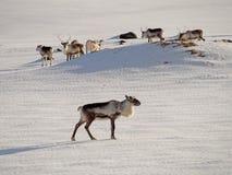 Icelandic deer Stock Images