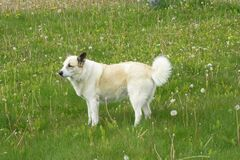 This is The Icelandic dog. It is amazing animal, good friend and good worker.