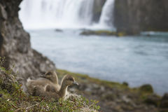 Icelandic eider ducklings and Godafoss waterfall. Royalty Free Stock Image