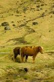 Icelandic Farm Horses Royalty Free Stock Photography