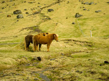 Icelandic Farm Horses Stock Photography