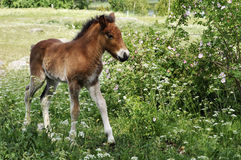 Icelandic foal Royalty Free Stock Photos
