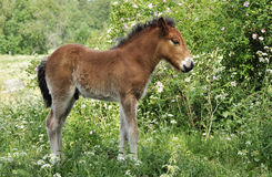 Icelandic foal Stock Photos