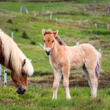 Icelandic Foal Looking to Camera stock image