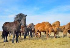 Icelandic free horses Royalty Free Stock Images