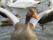 Icelandic goose flaps his wings Stock Photo