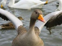 Icelandic goose flaps his wings Stock Photo