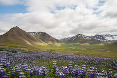 Icelandic green landscape with purple flowers Royalty Free Stock Photos