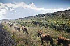 icelandic hästar royaltyfri fotografi