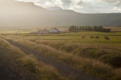 icelandic hästar arkivbild