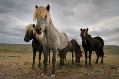 icelandic hästar Royaltyfri Foto