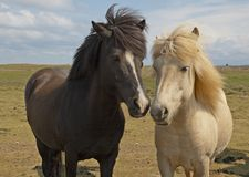 icelandic hästar arkivfoton