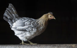 Icelandic hen chicken Royalty Free Stock Photography