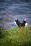 Icelandic Horned Puffin. A couple of icelandic puffin Stock Photo