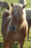 Icelandic Horse. An icelandic horse, few kilometers north of Reyjkavik Royalty Free Stock Photos