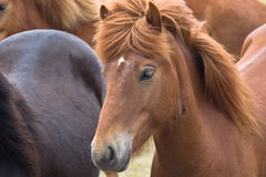 Icelandic horse. Close up of an Icelandic horse among other horses Royalty Free Stock Photo