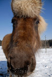 Icelandic horse. Portrait of an icelandic horse in wintertime Royalty Free Stock Photos