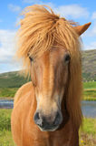 Icelandic horse. Outside in the Icelandic country side Stock Images
