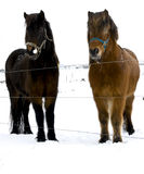 Icelandic horse Royalty Free Stock Images
