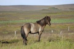 Icelandic horse. Stock Photos