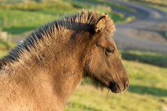 Icelandic Horse Stock Photos