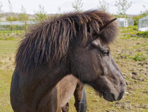 An Icelandic horse Stock Photography