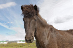 An Icelandic horse Royalty Free Stock Photos